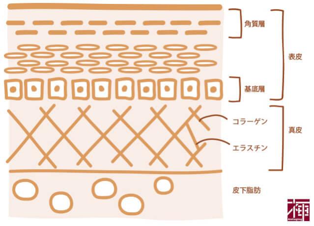 真皮のコラーゲンと皮膚の構造