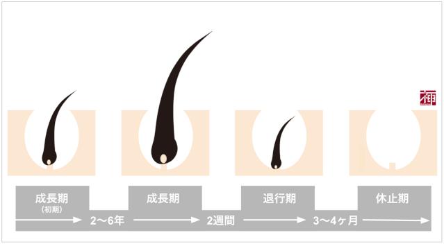 通常の毛周期