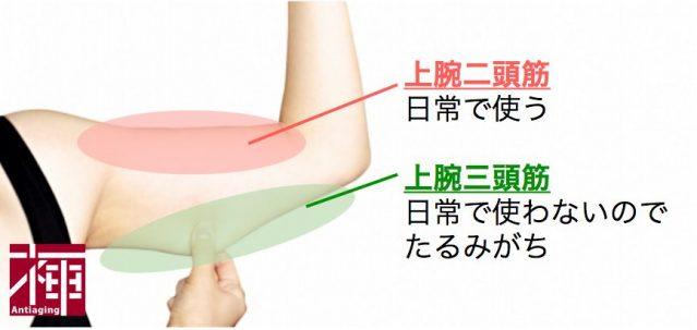 二の腕 筋肉